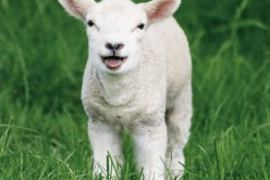 Animal Equity mostra la strage di agnelli a Pasqua