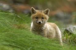 """Animalisti contro la Provincia di Siena: """"Fermate la mattanza delle volpi"""""""