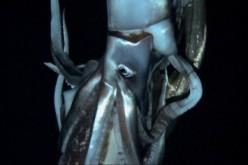 Filmato il primo calamaro gigante vivo