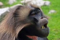 I babbuini Gelada parlano come l'uomo