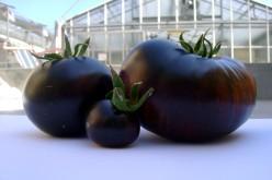 In vendita il pomodoro nero non OGM che aiuta l'organismo