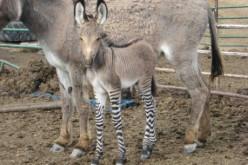 Ippo: un raro incrocio tra zebra e asino