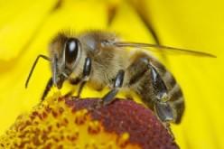 L'Unione Europea salva le api bandendo i pesticidi neonicotinoidi