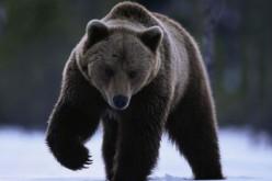 Studiare gli orsi per combattere l'obesità