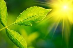 Il MIT aumenta la capacità fotosintetica delle piante