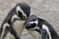 Il clima accelera l'estinzione dei pinguini