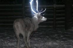 Scandinavia: renne fluorescenti per salvarle dagli incidenti stradali