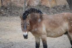 Sequenziato il più antico DNA: appartiene all'antenato del cavallo