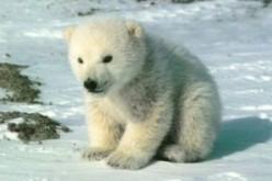 Trova il nome per l'orso polare!