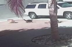 Eroismo a quattro zampe: gatto salva un bambino dall'attacco di un cane (video)