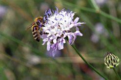 Un fiore autunnale salverà le api dall'estinzione