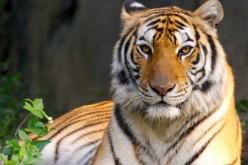 In un secolo scomparso il 97% delle tigri