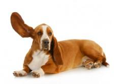 I cani capiscono il linguaggio umano? Il loro cervello prova a comprenderci