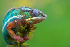 Come fanno i camaleonti a cambiare colore? Svelato il meccanismo hi-tech