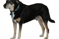 Frankie, il cane che fiuta i tumori è quasi infallibile