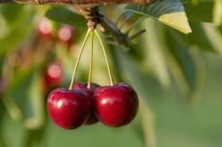 Salviamo le ciliegie: un biofilm le proteggerà dagli agenti atmosferici