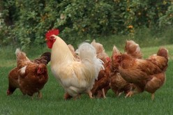Pollo e uova, la dieta migliore per salvare il pianeta