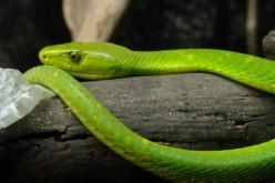 Serpenti, in Africa sta finendo l'antidoto