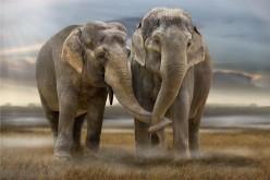 Cancro, il gene che rende immuni è nel Dna degli elefanti