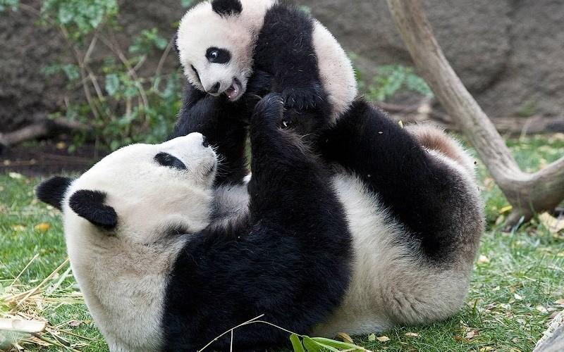 Greenpeace ha vinto, il panda gigante cinese è salvo