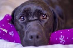 """Diabete, il """"fiuto-detector"""" di un labrador salva la vita a un bimbo"""