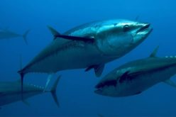 Specie marine, rischiano l'estinzione a causa dell'uomo