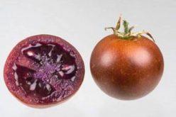 Intestino, il pomodoro bronzeo aiuta a ridurre le infiammazioni