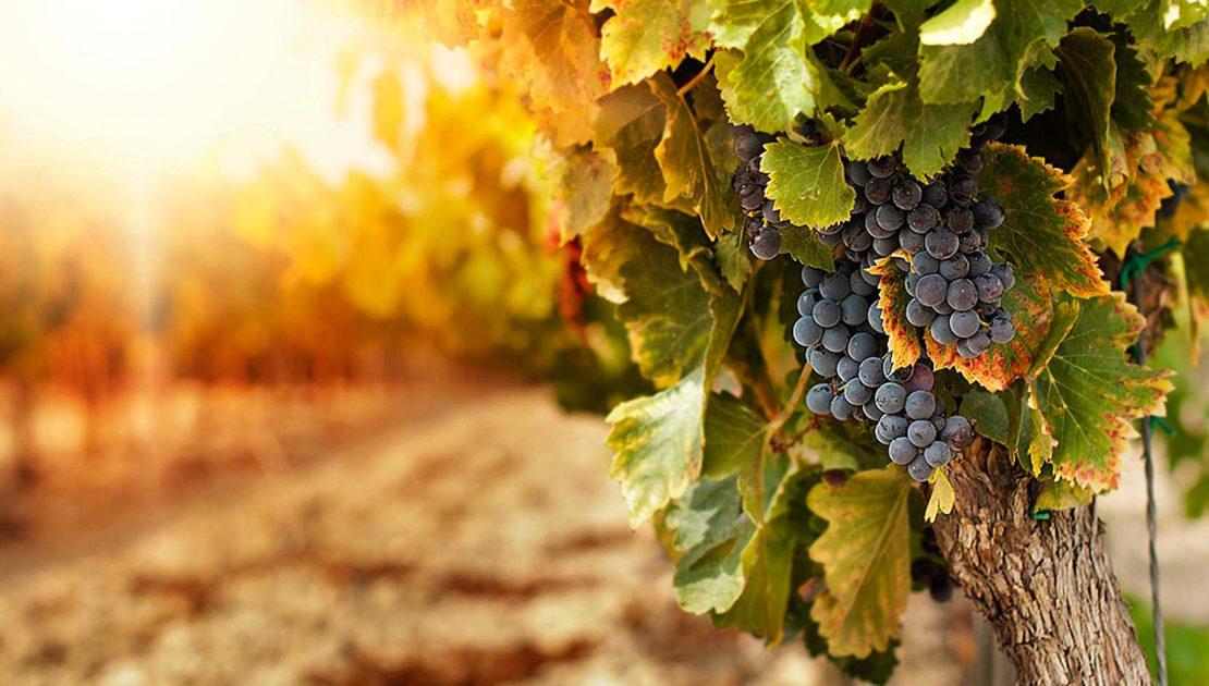 Agricoltura 4.0: la tecnologia aiuta i viticoltori